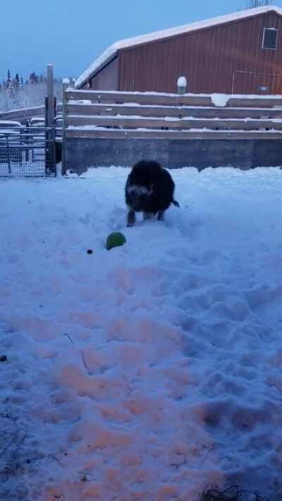 A baby muskox at the large animal research station in Alaska playing with a ball.