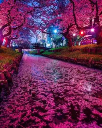 Cherry Blossoms in Shingashi. First posted:
