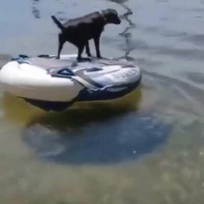 Adorable dogo