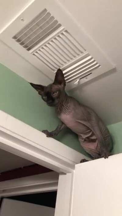 What other strange places have you found your sphynx?