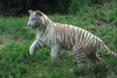 A ferocious tiger in hot pursuit of its prey.