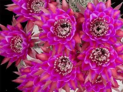Mesmerizing timelapse of cacti flowers in bloom [GIF] [00:6]