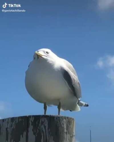Seagull Squeak