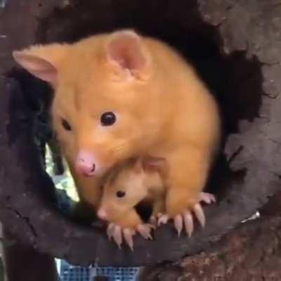 Golden possum with her baby