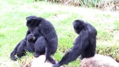 The song of the siamang (Caution: extremely beautiful!)