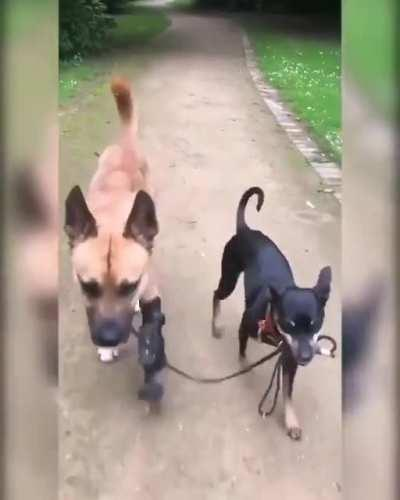 Dog walking his disabled pal for him.