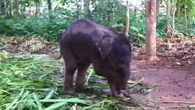 Baby elephant learning to use its trunk