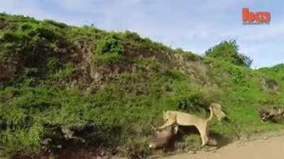 Lioness takes down impala midair
