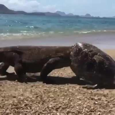 Komodo Dragon attacks a sea turtle on land, gets unexpected helmet upgrade....