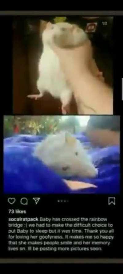 descansa en paz rata graciosa 😔🥀