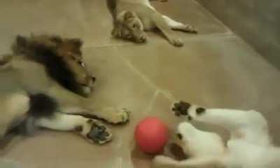 Lazy Lions Playing Ball