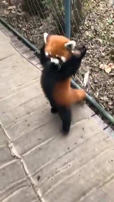 The red panda with a perfect walking gait.