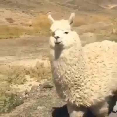 There are no wild alpacas. Alpacas are domesticated versions of vicuñas, South American ruminants that live high in the Andes. Alpacas are raised mainly for their soft and fluffy wool.