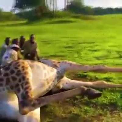 These men risked their own lives to save a giraffe from choking on a wire.