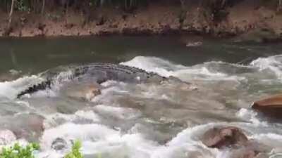 Huge Croc traverses an Australian Creek