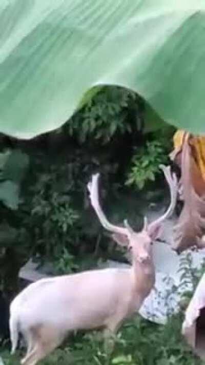 Video que compartieron en mi groupchat familiar: Venados en el barrio Quemados de San Lorenzo (Video shared in my family groupchat: Deer seen in Quemados, San Lorenzo, PR)