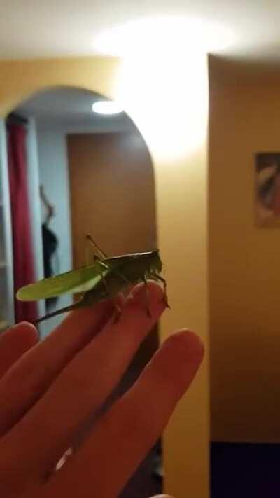 This rather large grasshopper landed next to my head. I took the opportunity to scare my wife a bit. We let it out of the window afterwards