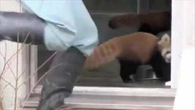 Red panda gets a fright