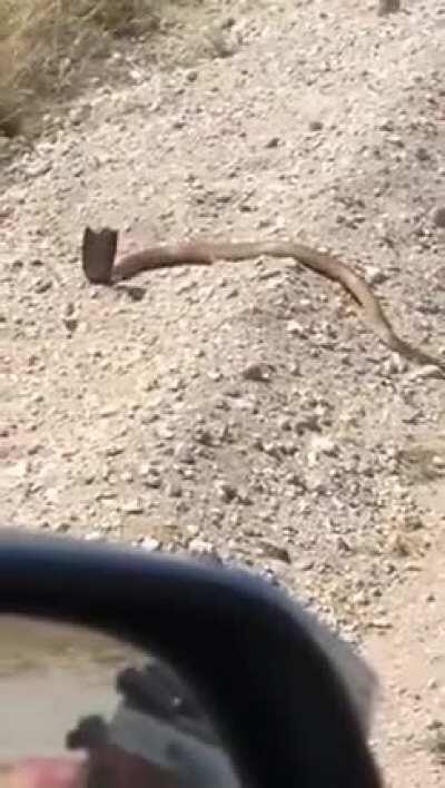 To shoot a cobra