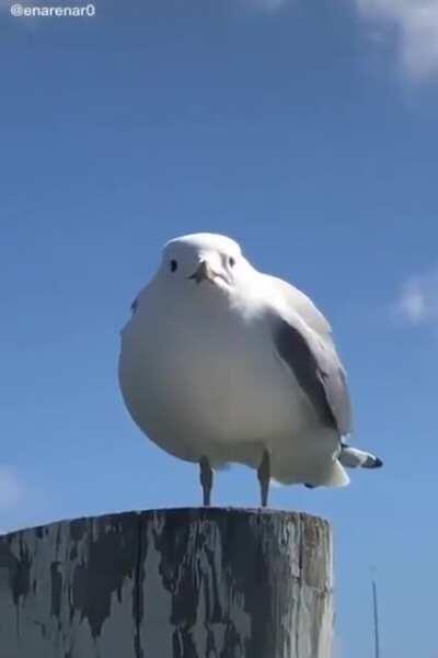 Perfectly cut scream seagul