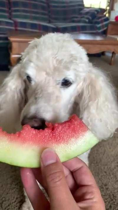 Snickers (17) does a cromch on his favorite birthday treat! 🍉
