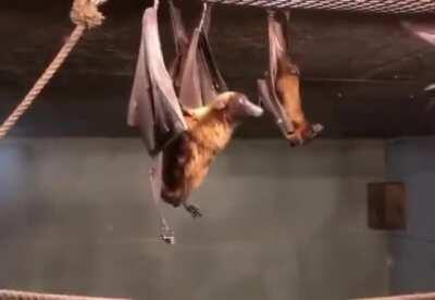 Me: If bats hang upside down, do they piss on themselves? Bat: No, idiot. Also bat:
