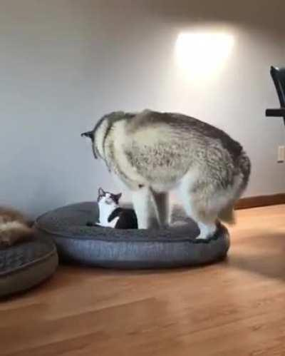 Husky is a very polite guest