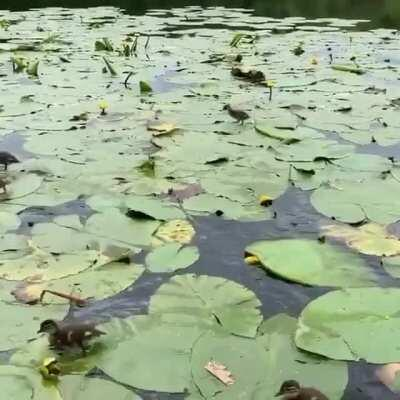 baby duckies on lily pads :)