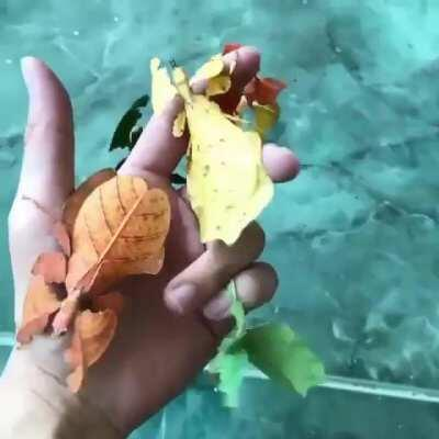 Leaf Insects mimic fall colors