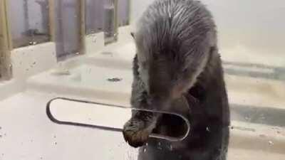 Sea Otter filling her built in pocket with food treats