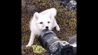 🔥 This Arctic Fox Checking Out A Wildlife photographer