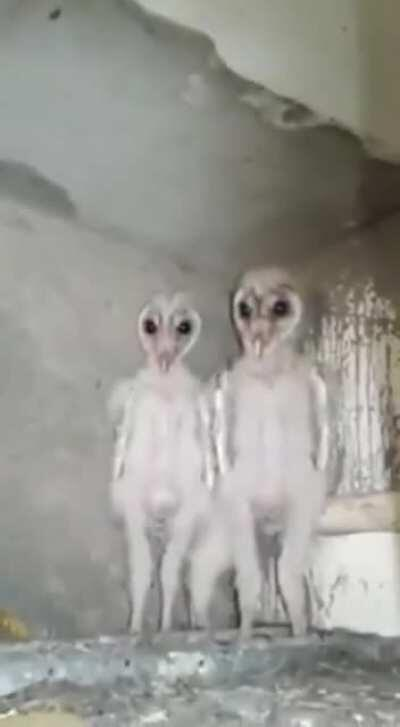 Baby Owls - This is why owls are mistaken for something alien.