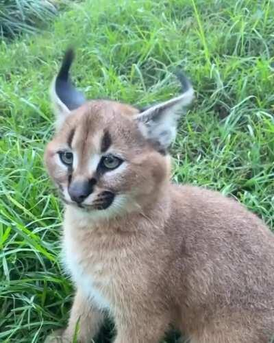🔥 This caracal flicking its ears