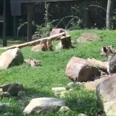 Mom pretends to be startled to build her cub's confidence