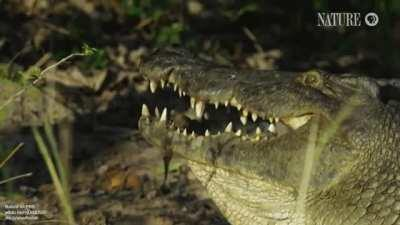 How crocodiles carry their young