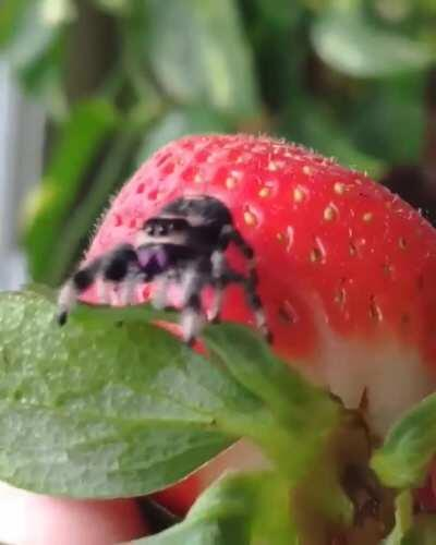 Fuzzy little strawberry climber