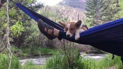 A corgi and a hammock