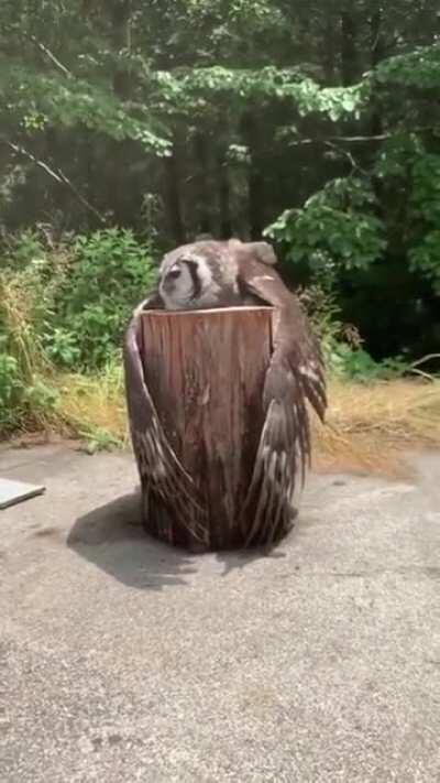 An owl just hanging out on a stump