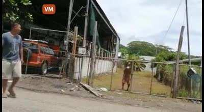 Lemon thief got his noodle fried by an electric fence set up by the owner.