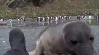 A wildlife photographer was photographing elephant seals on a beach and a baby came over to check him out.