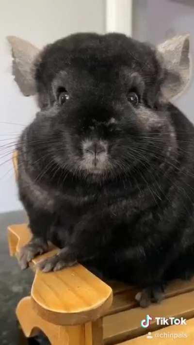 The Chinchillas get sorted into their Hogwarts Houses!