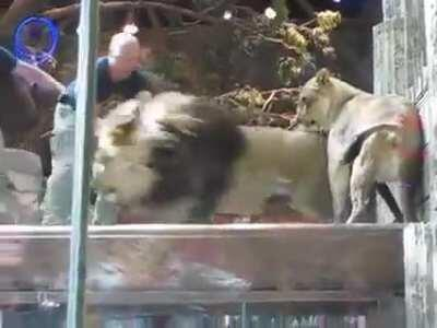 WCGW If I'm a newbie lion trainer and I ignore the male lions obvious irritation with me and when he stares in my eyes I stare back, basically challenging him