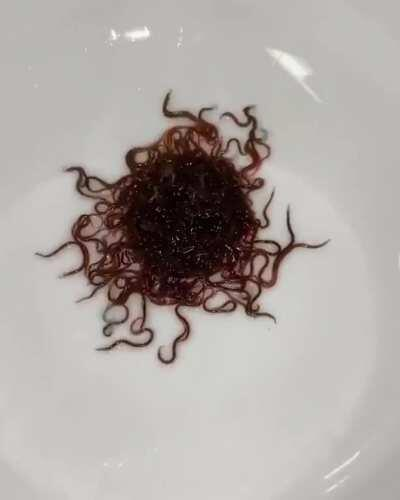 Black Worms As Food For Baby Axolotls