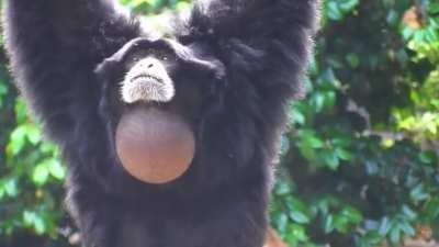 When you sit on your balls. (They are called Siamang gibbons btw)