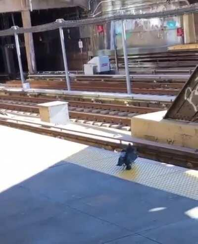 Two pigeons push another pigeon onto train tracks