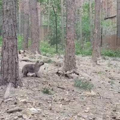 Finding his howl !
