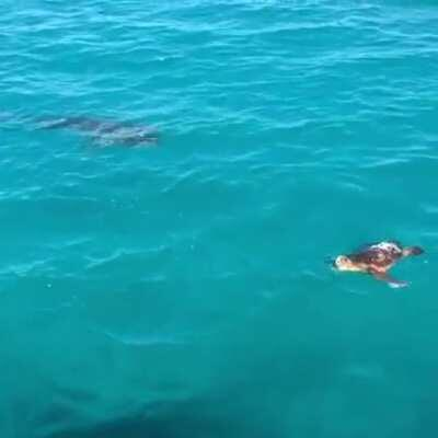 Turtle defends itself against a shark attack