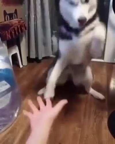 Husky learning how to
