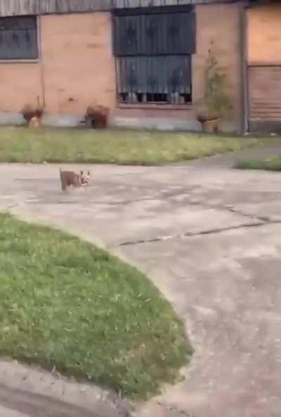 Hello Mister Chihuahua