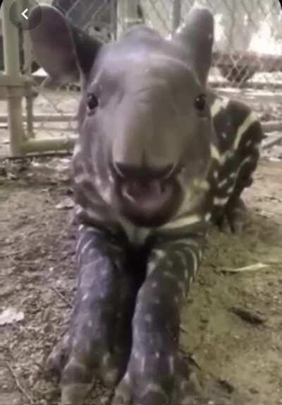 A baby Tapir! 💕